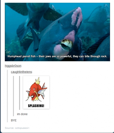 humphead parrotfish bite through rock