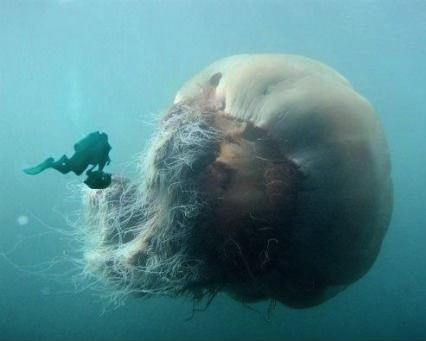 largest jellyfish